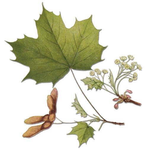Érable sycomore — Société Centrale d'Apiculture