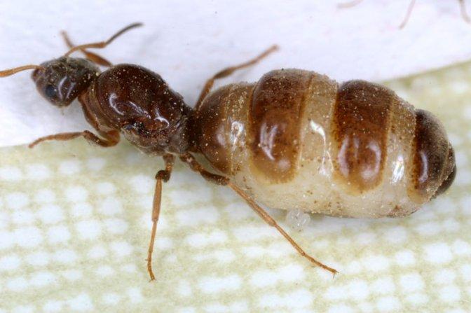 les fourmis ces cousines de nos abeilles serait elles. Black Bedroom Furniture Sets. Home Design Ideas